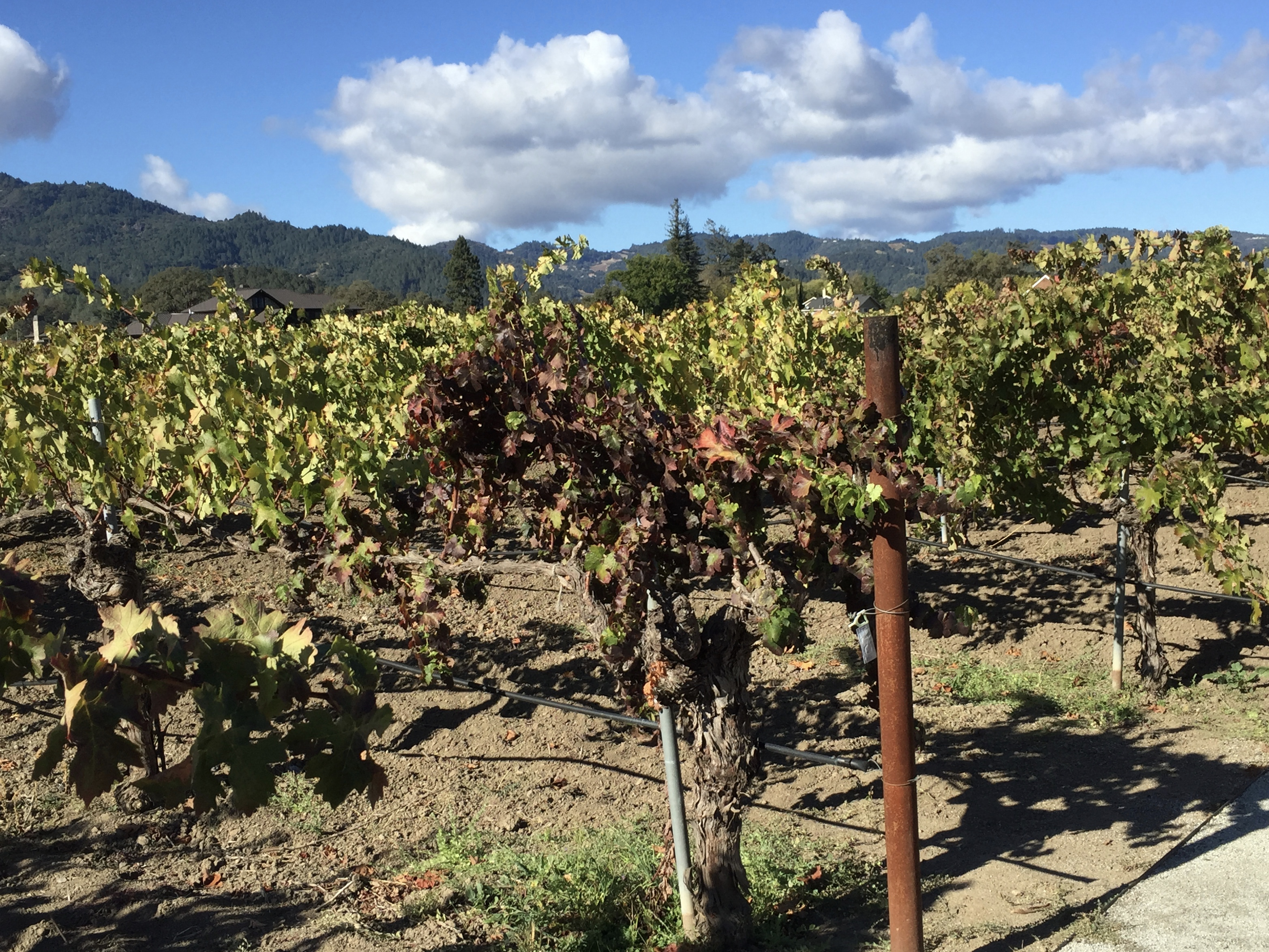 Cabernet vines in Kronos vineyard, Corison Winery, Napa Valley
