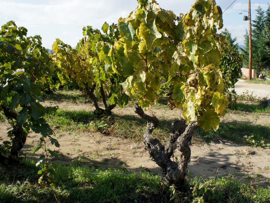 Older Xinomavro vineyards, such as Alpha Estate's 93 year-old ungrafted vineyard, is a cherished commodity in North Greece